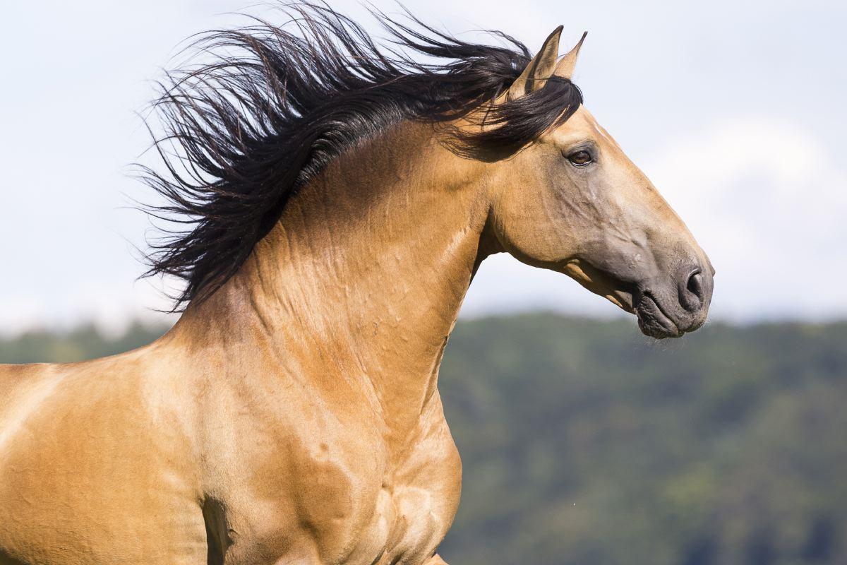 Das Seminarpferd ATILA ist ein edler Hengst aus Portugal. Dieser Pferde waren in der Antike die erste Wahl für Feldherren und Könige.