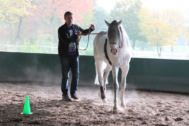 Weißes Pferd wird geführt