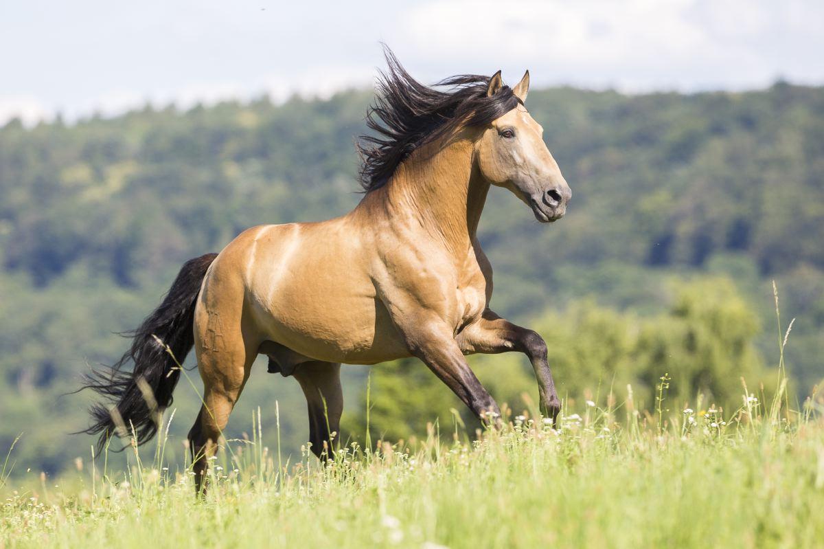Pferd galoppiert im Freien